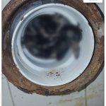 Zapušena wc šolja – golub